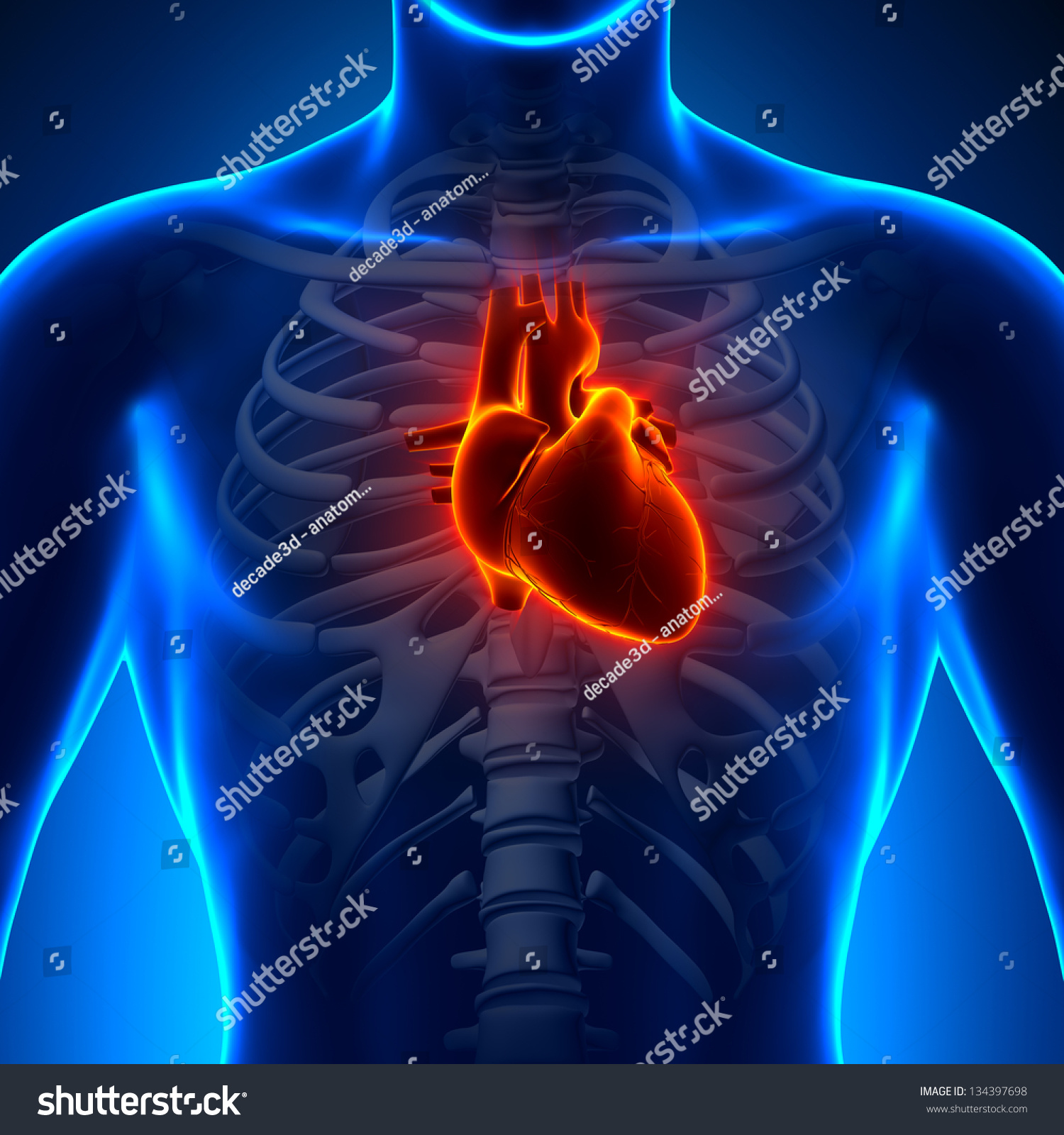 Royalty Free Stock Illustration Of Anatomy Heart Chest Medical Scan