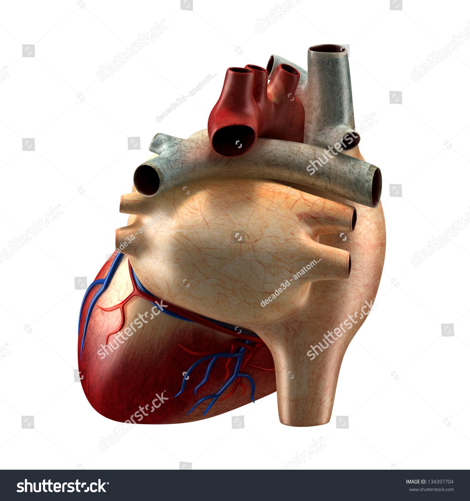 Anatomy Heart Back View Stockillustration 134397704 Shutterstock