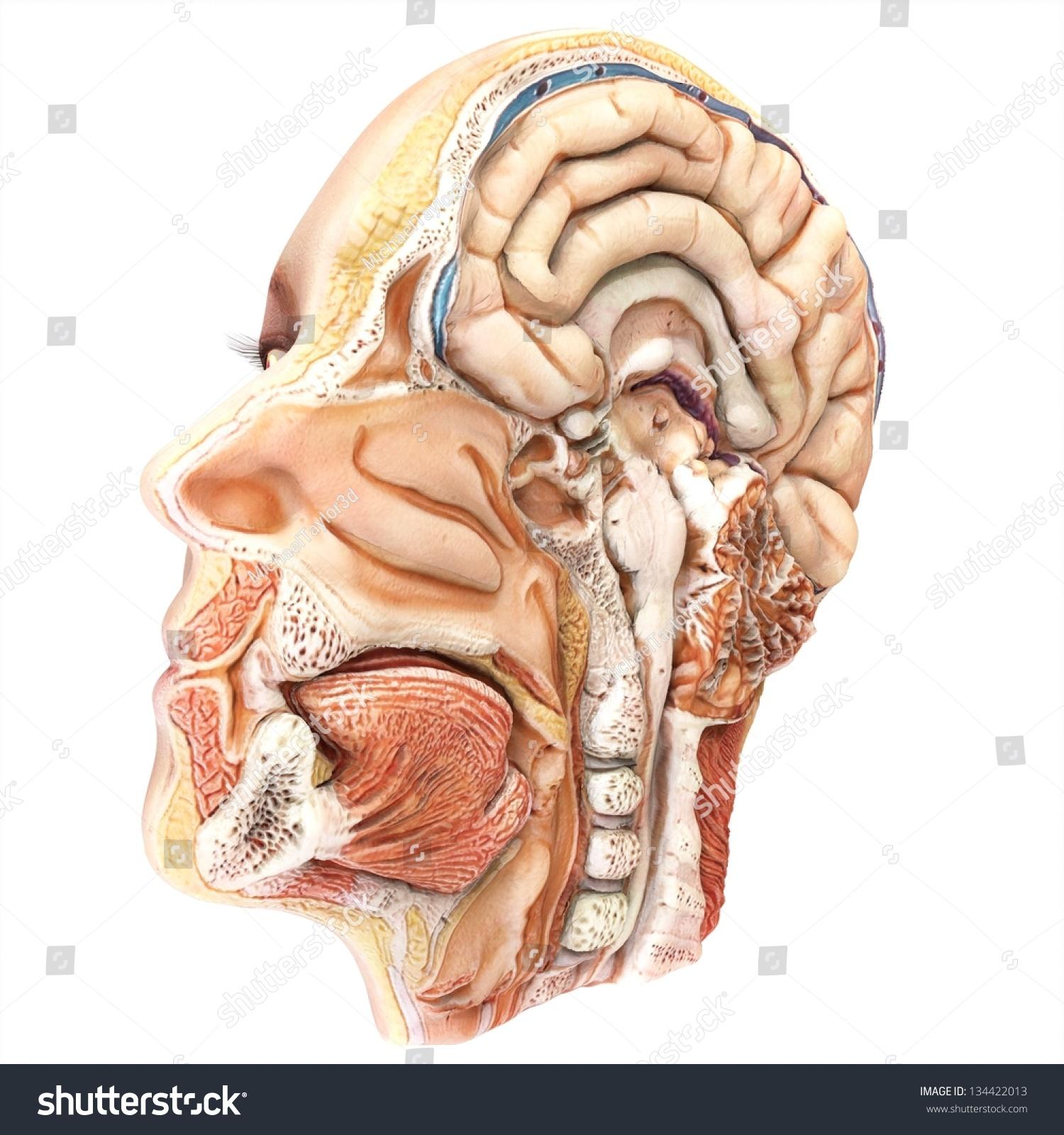 Royalty Free Stock Illustration Of Human Lateral Head Slice Anatomy