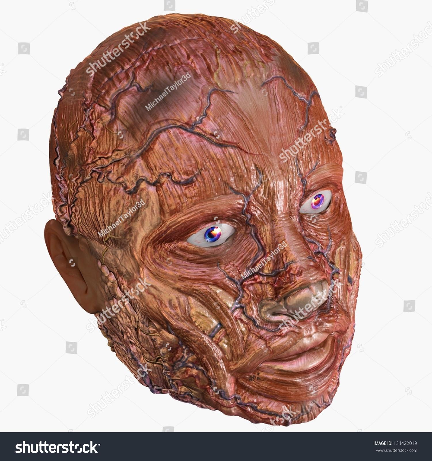 Royalty Free Stock Illustration Of Human Head Muscle Anatomy Stock