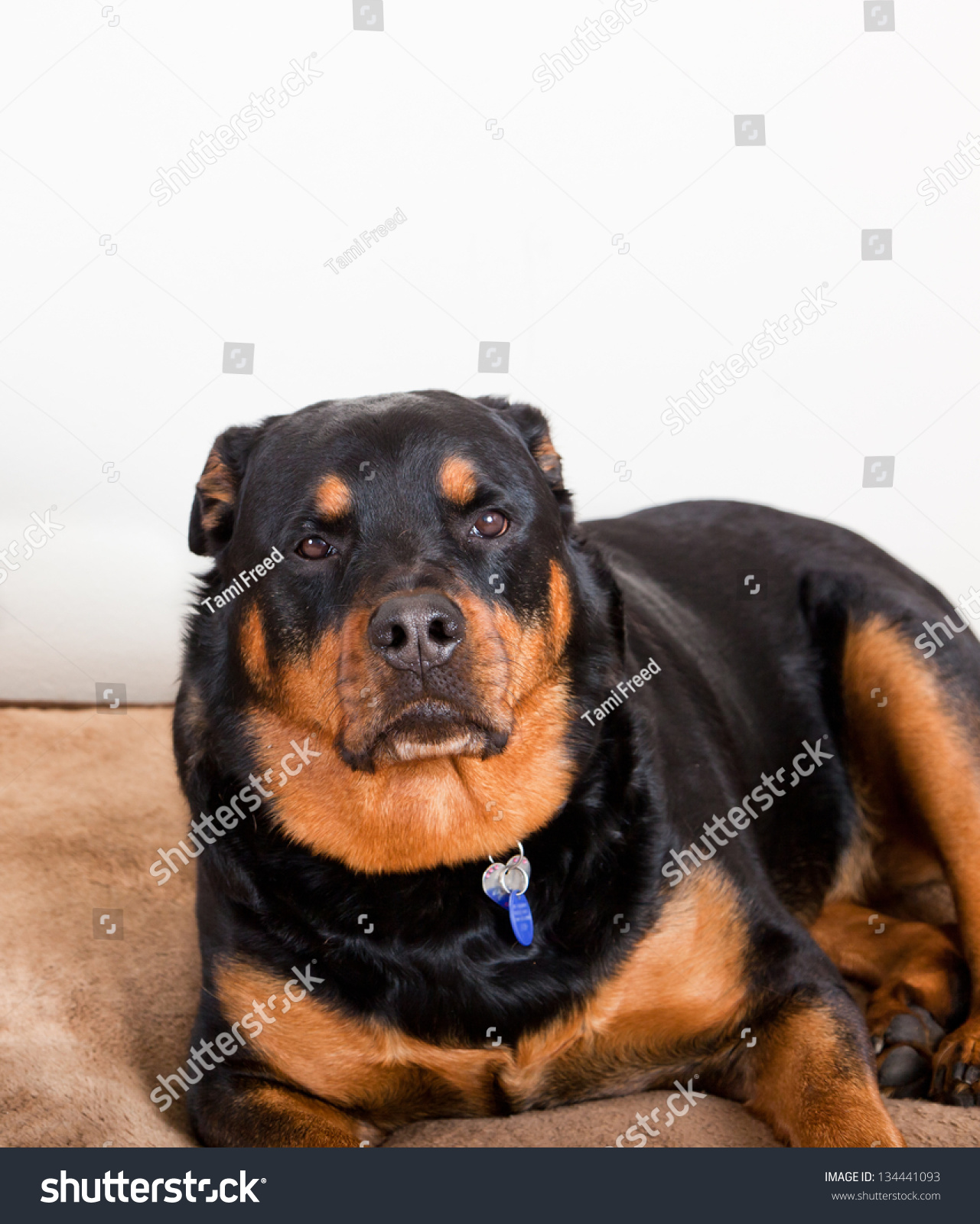 Black Mahogany Rottweiler Laying Down On Stock Photo Edit Now