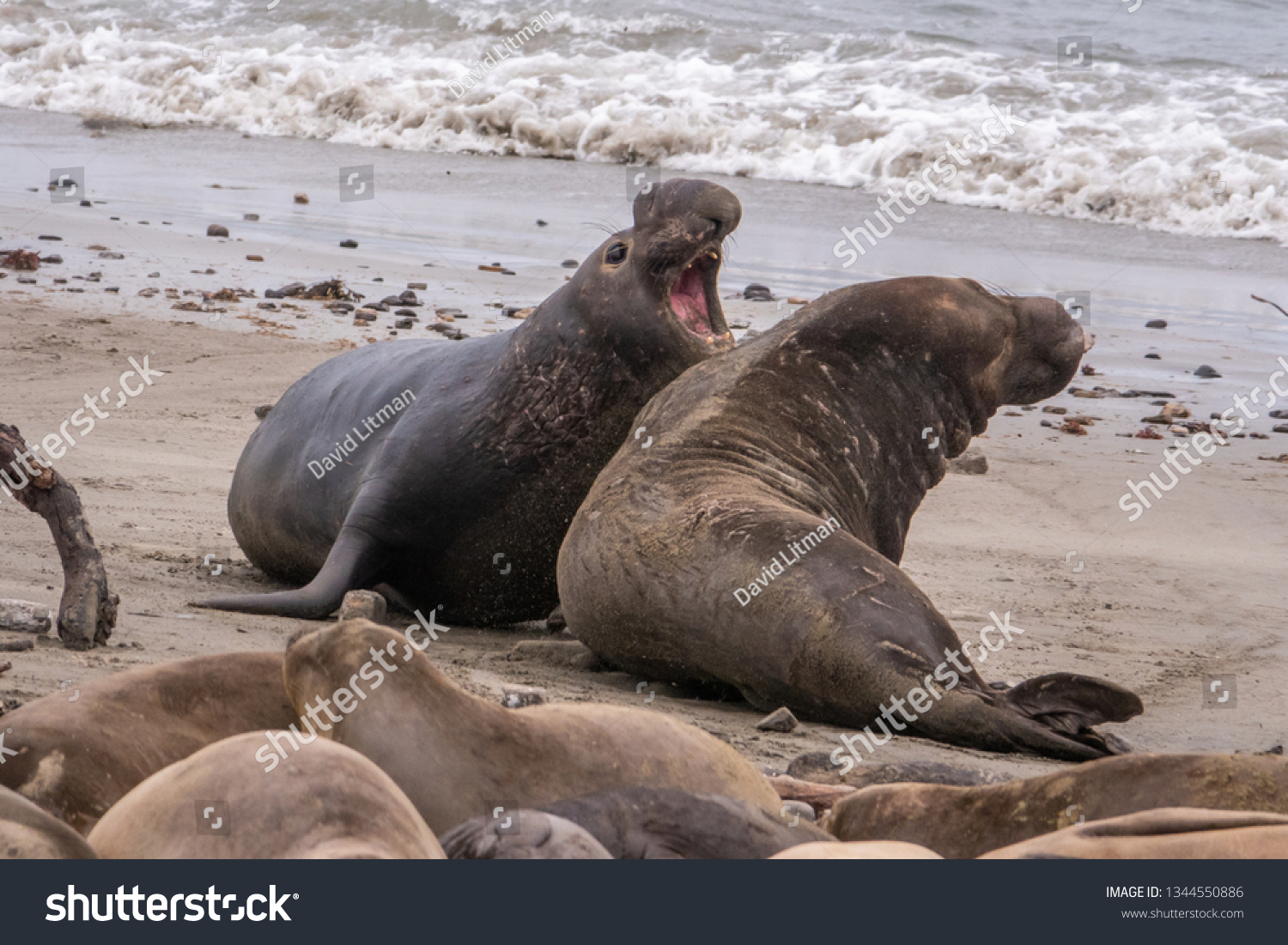 Two Northern Elephant Seal bulls (Mirounga angustirostris) fight for dominance and breeding rights during mating season at Ano Nuevo State Park, in Pescadero, California. They grunt, shove and bite.