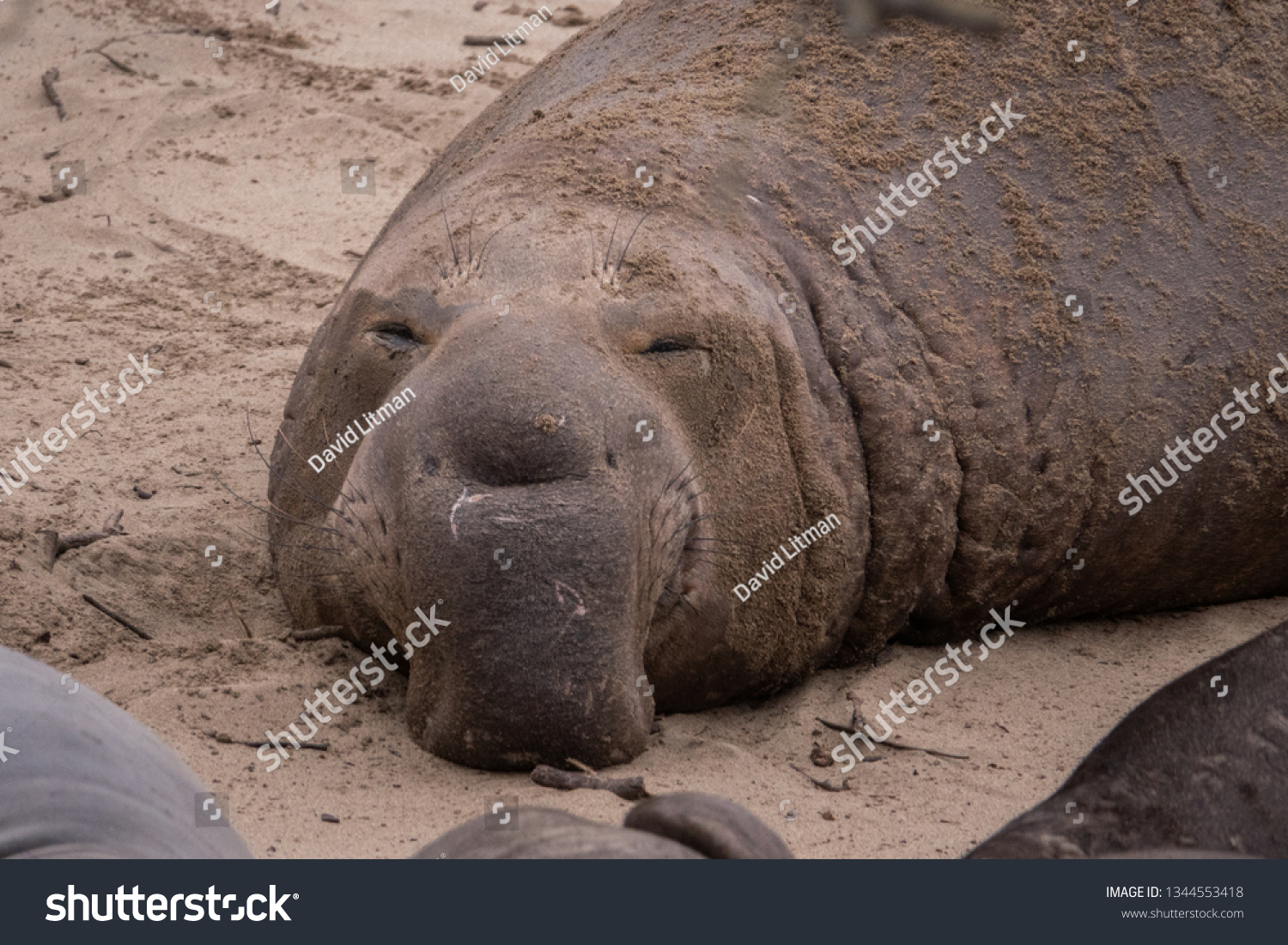 A Northern Elephant Seal bull (Mirounga angustirostris) on the beach during mating season, at Ano Nuevo State Park and preserve, along the Pacific Coast of California, in Pescadero.