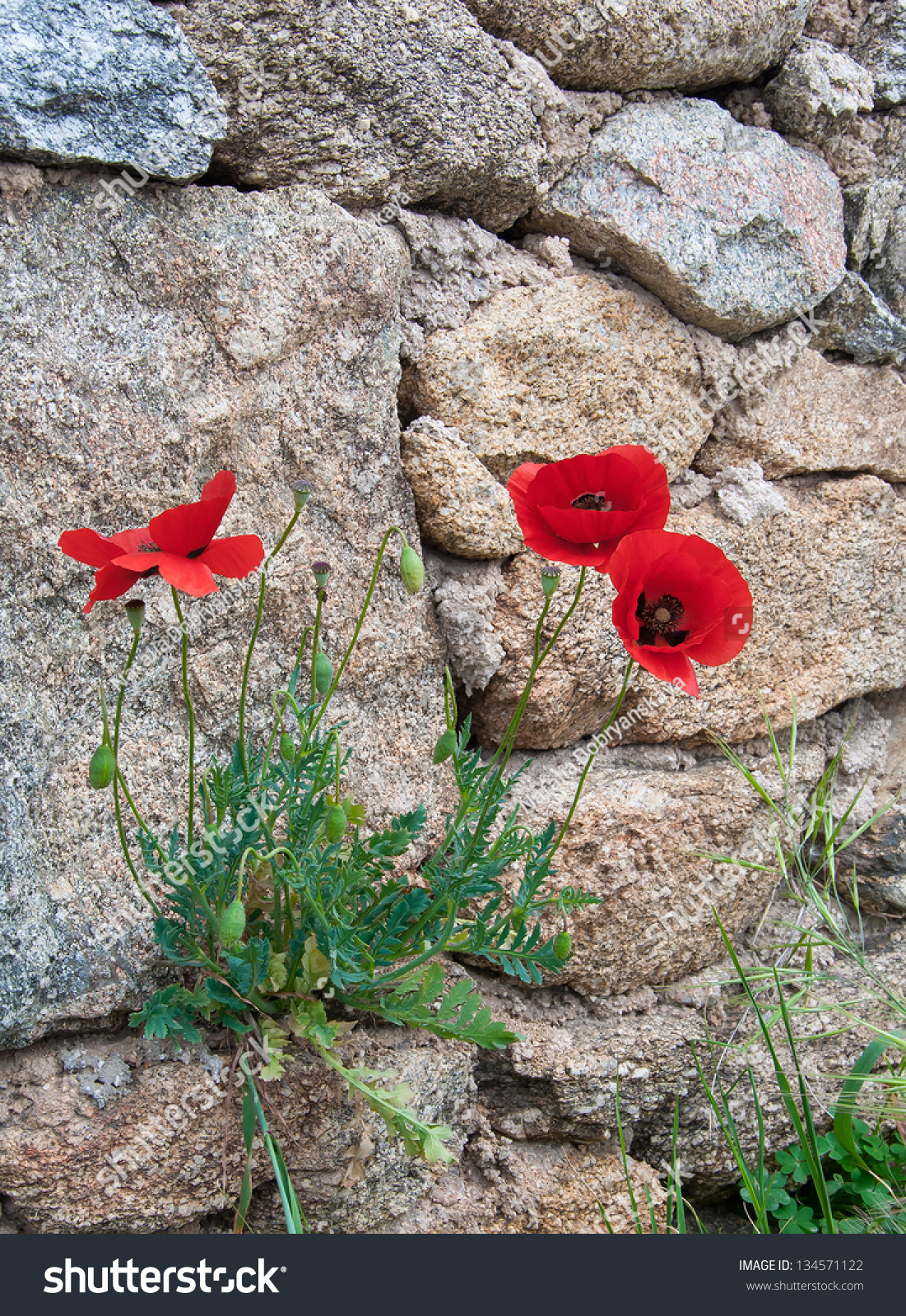 Red Poppy Flowers Growing On Rocks Stock Photo Edit Now 134571122