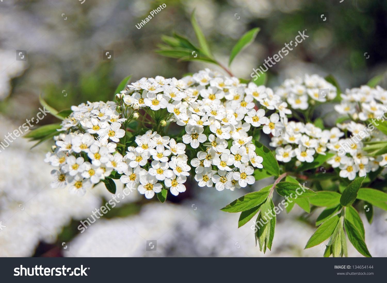 Spiraea Alpine Spring Flower White Flowering Stock Photo Image