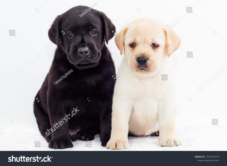 Black White Labrador Puppies On White Stock Photo Edit Now 1347010916
