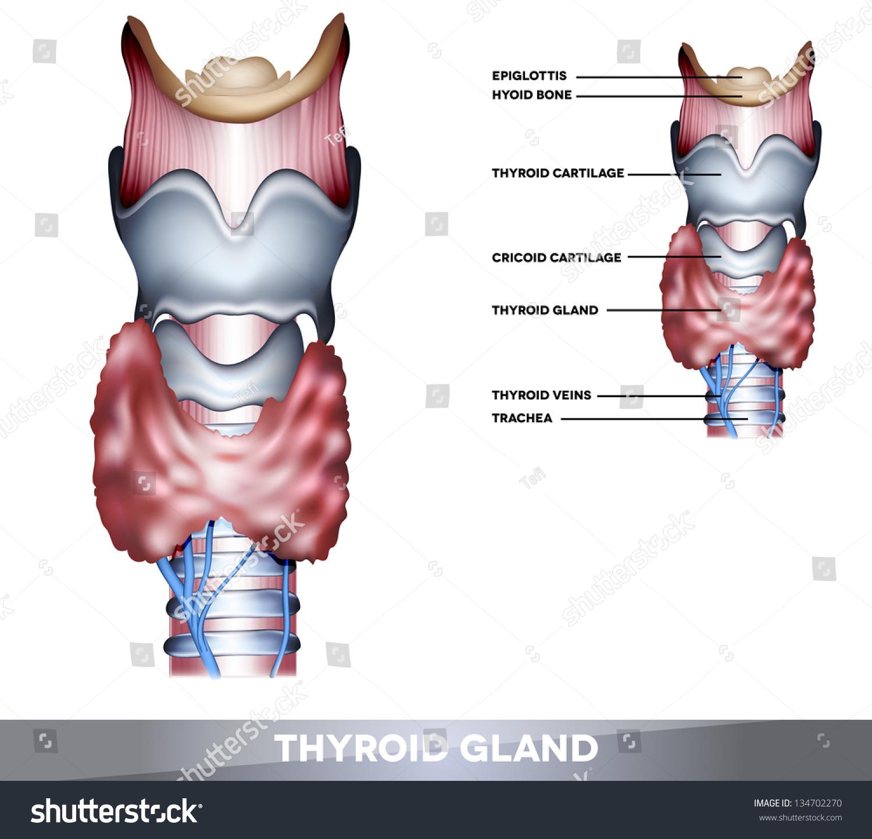 Anatomy Thyroid Gland Epiglottis Trachea Beautiful Stock ...