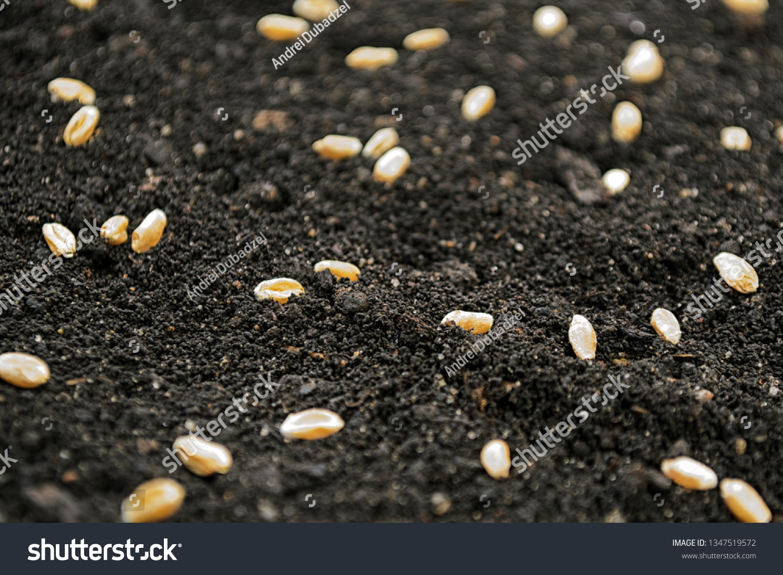 Wheat Seeds On Dark Soil When Stock Photo Edit Now 1347519572