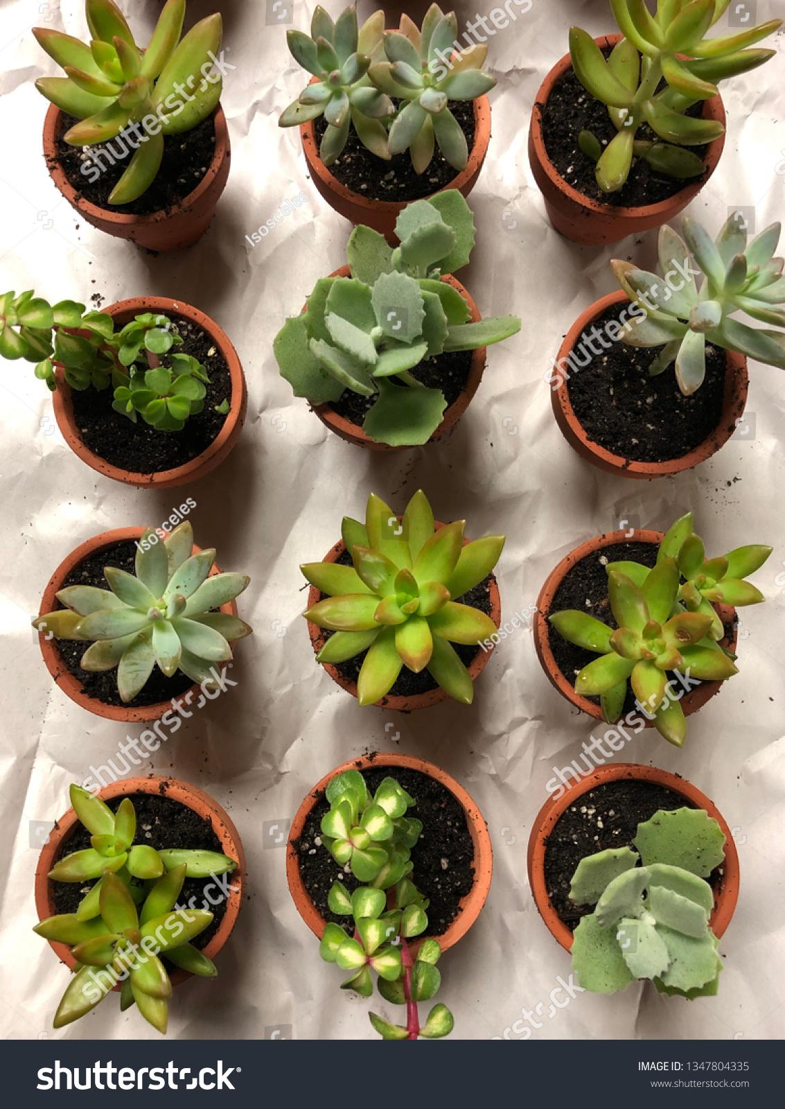 Mini Succulents Pots Stock Photo Edit Now 1347804335
