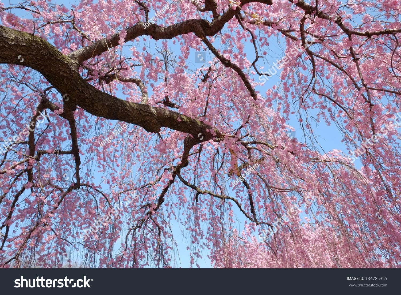 Weeping Cherry Blossom Tree Full Fresh Stock Photo Royalty Free
