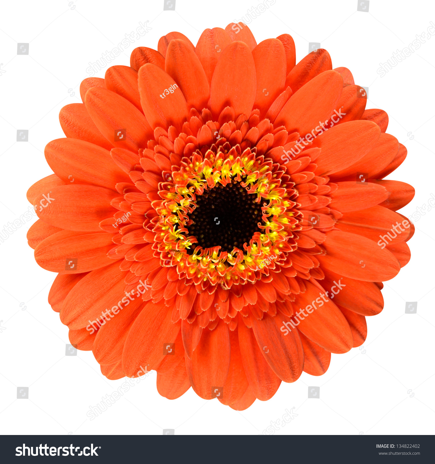 Beautiful Orange Gerbera Flower Black Center Stock Photo Edit Now
