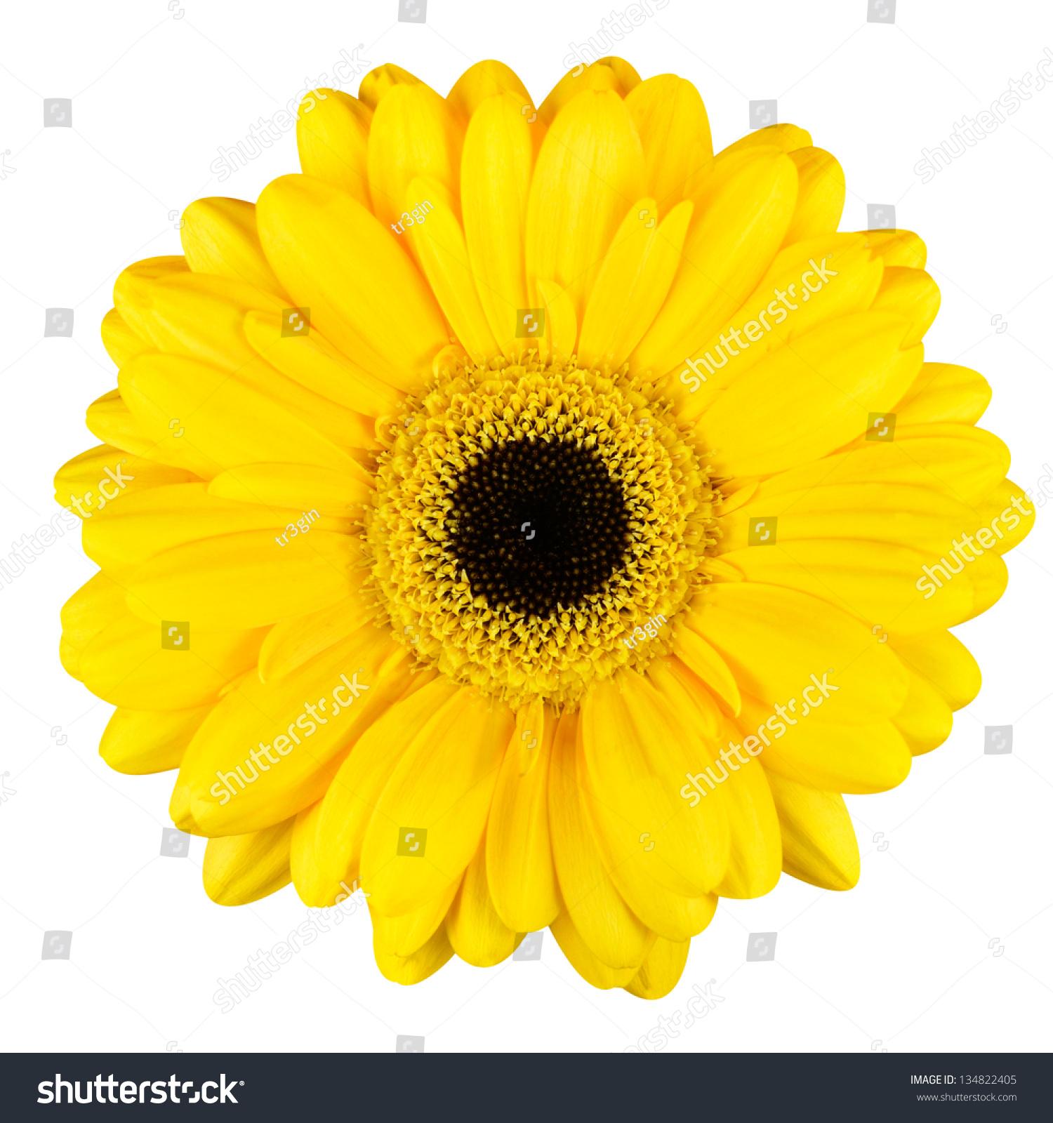 Beautiful Yellow Gerbera Flower Black Center Stock Photo Edit Now