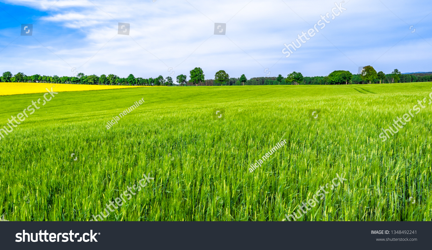 Green farm, panoramic view of farmland, crop of wheat on field, spring landscape