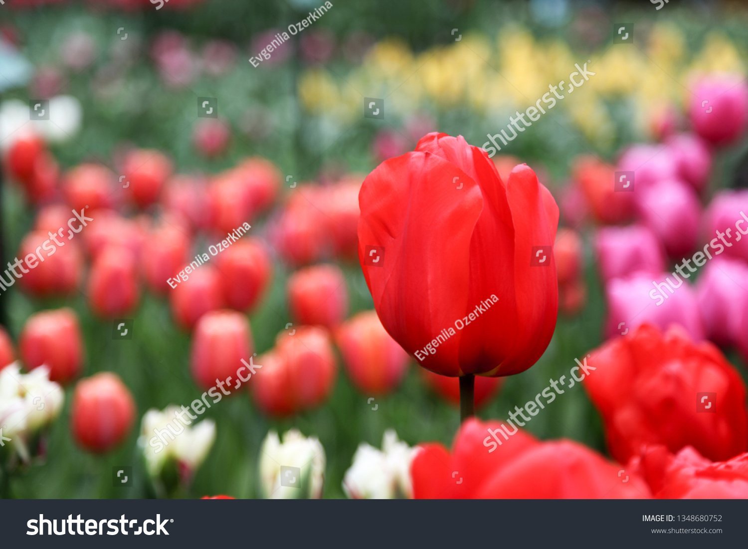 stock-photo-red-tulip-against-the-backgr