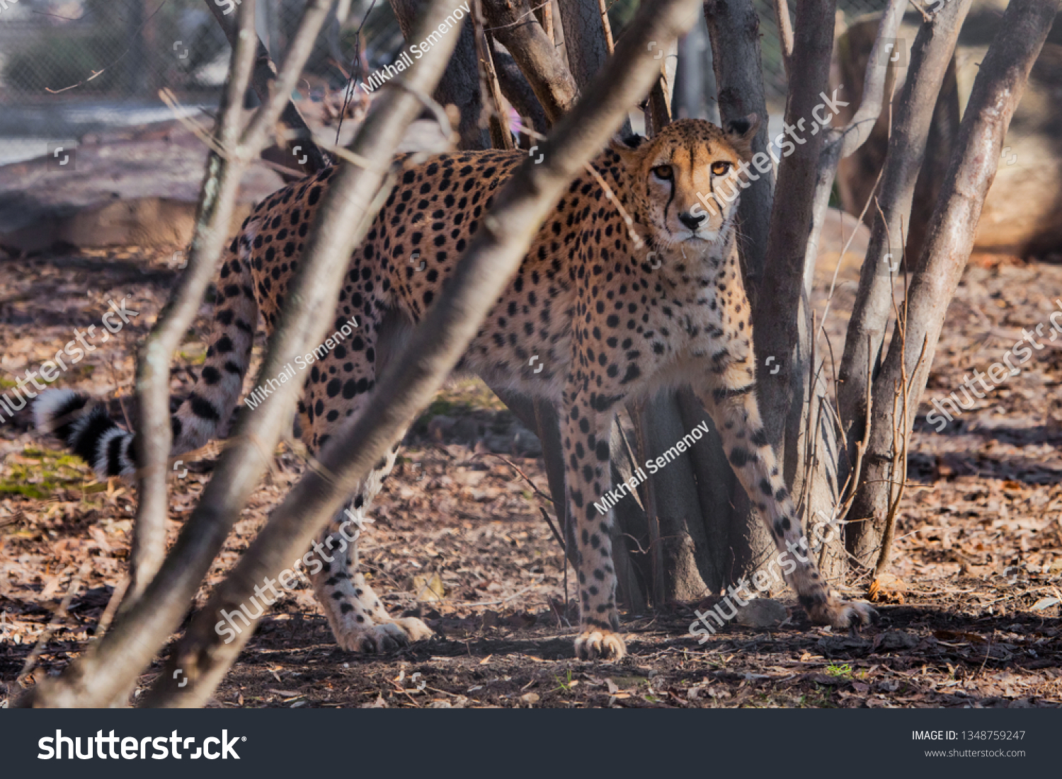 The cheetah sneaks among the trees, the shadows and the spotty coloring of the skins of a big cat create an excellent disguise.  Big cat. #1348759247