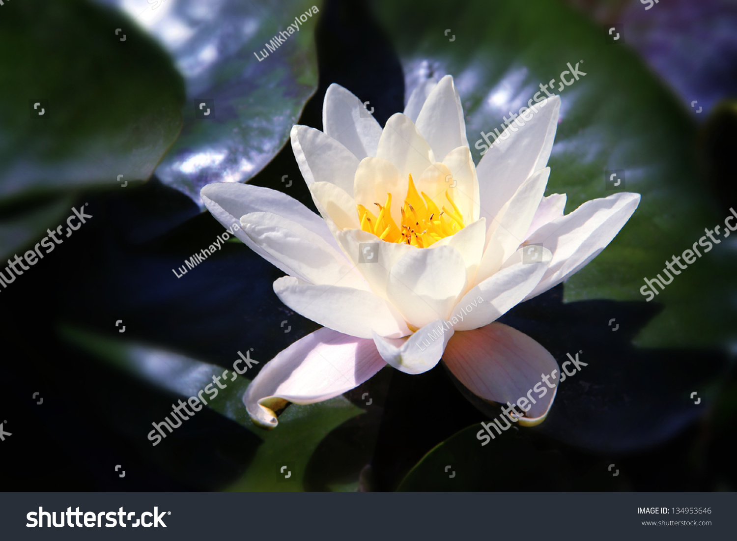 White Lotus On River Moonlight Stock Photo Edit Now 134953646