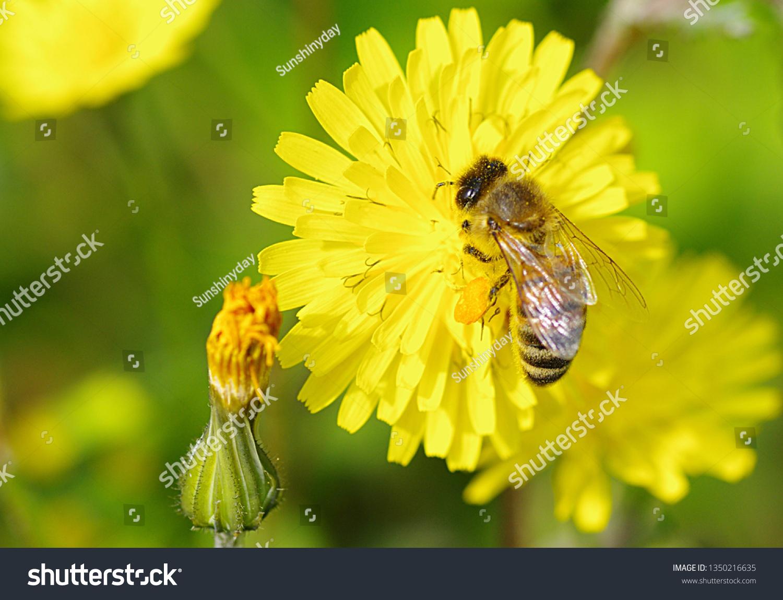 stock-photo-bee-sitting-on-dandelion-blo