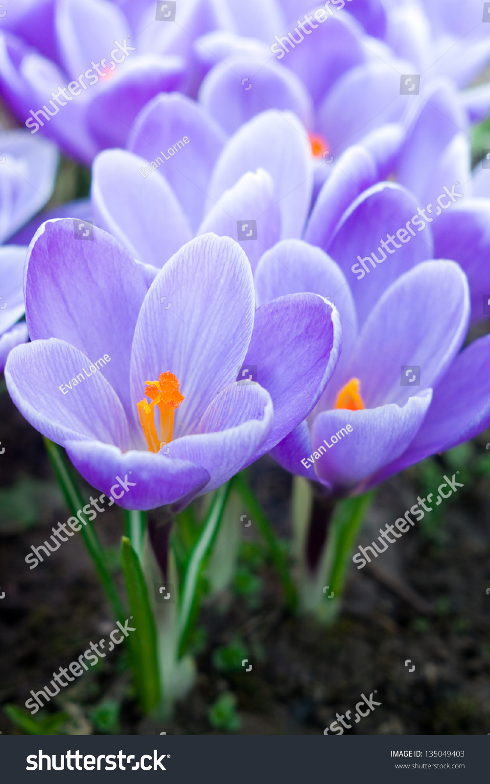 Purple Crocuses First Spring Flowers Thin Stock Photo Royalty Free