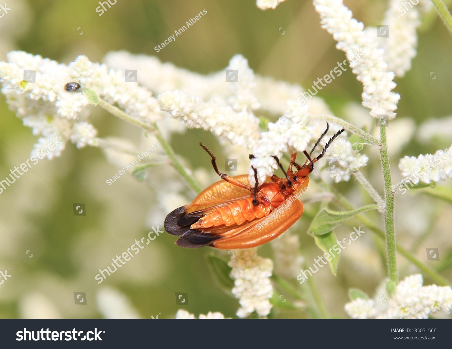 Wild Insects Flowers Africa Combretum Bug Stock Photo Image