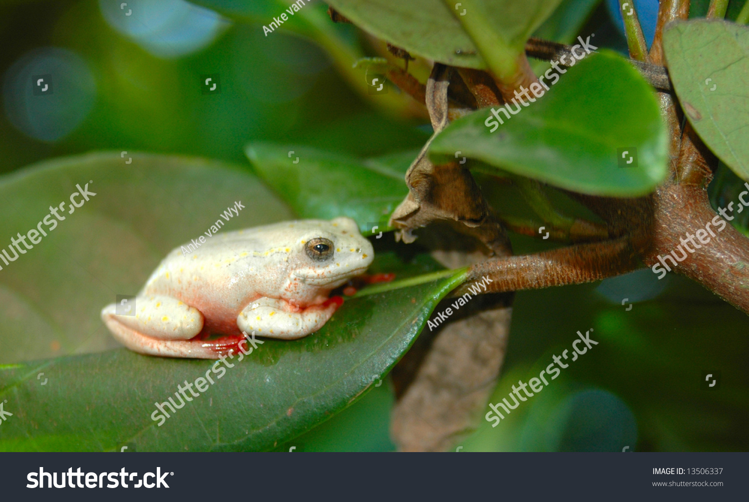 a little white african frog marbled reed frog