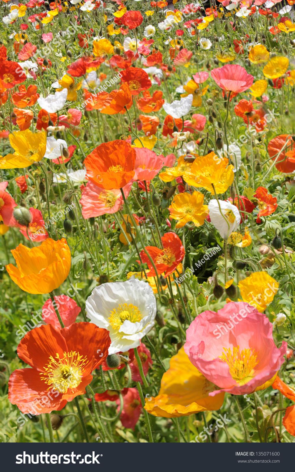 Multi Color Poppy Flowers Field Stock Photo Edit Now 135071600