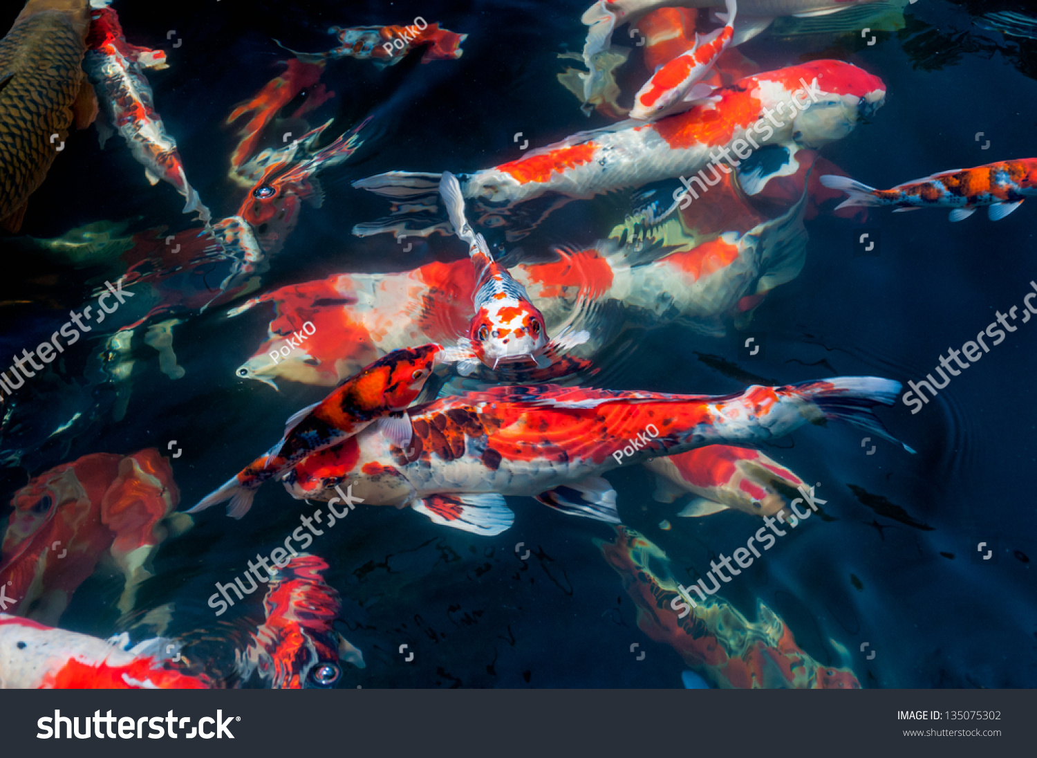 Beautiful Koi Fish Swimming Pond Stock Photo (Royalty Free ...