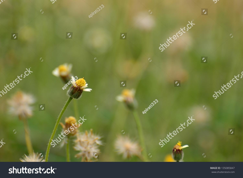 Tridax or wild daisy flowers in garden ez canvas izmirmasajfo