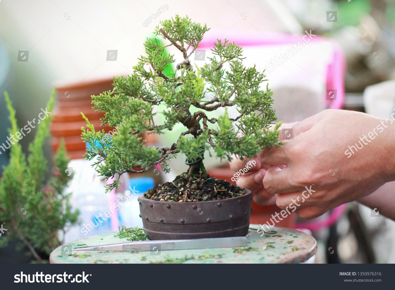 Making Bonsai Pruning Pruning Bonsai Leaves Stock Photo Edit Now 1350976316