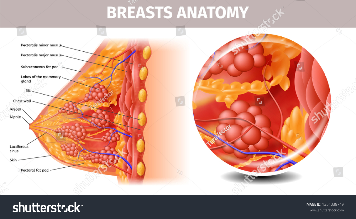 Woman Breasts Anatomy Highly Detailed Close Stock Vector Royalty