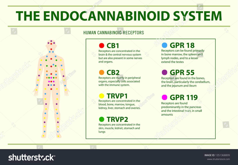 Endocannabinoid System Human Receptors Horizontal