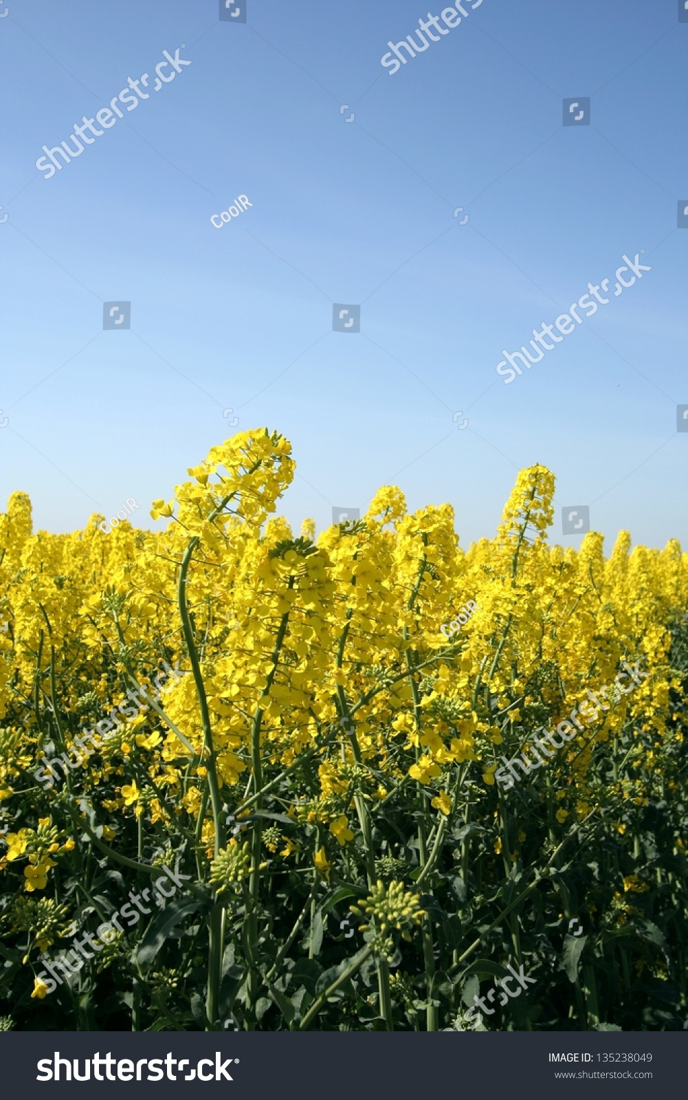 Rape Field Canola Crops On Blue Stock Photo Royalty Free 135238049