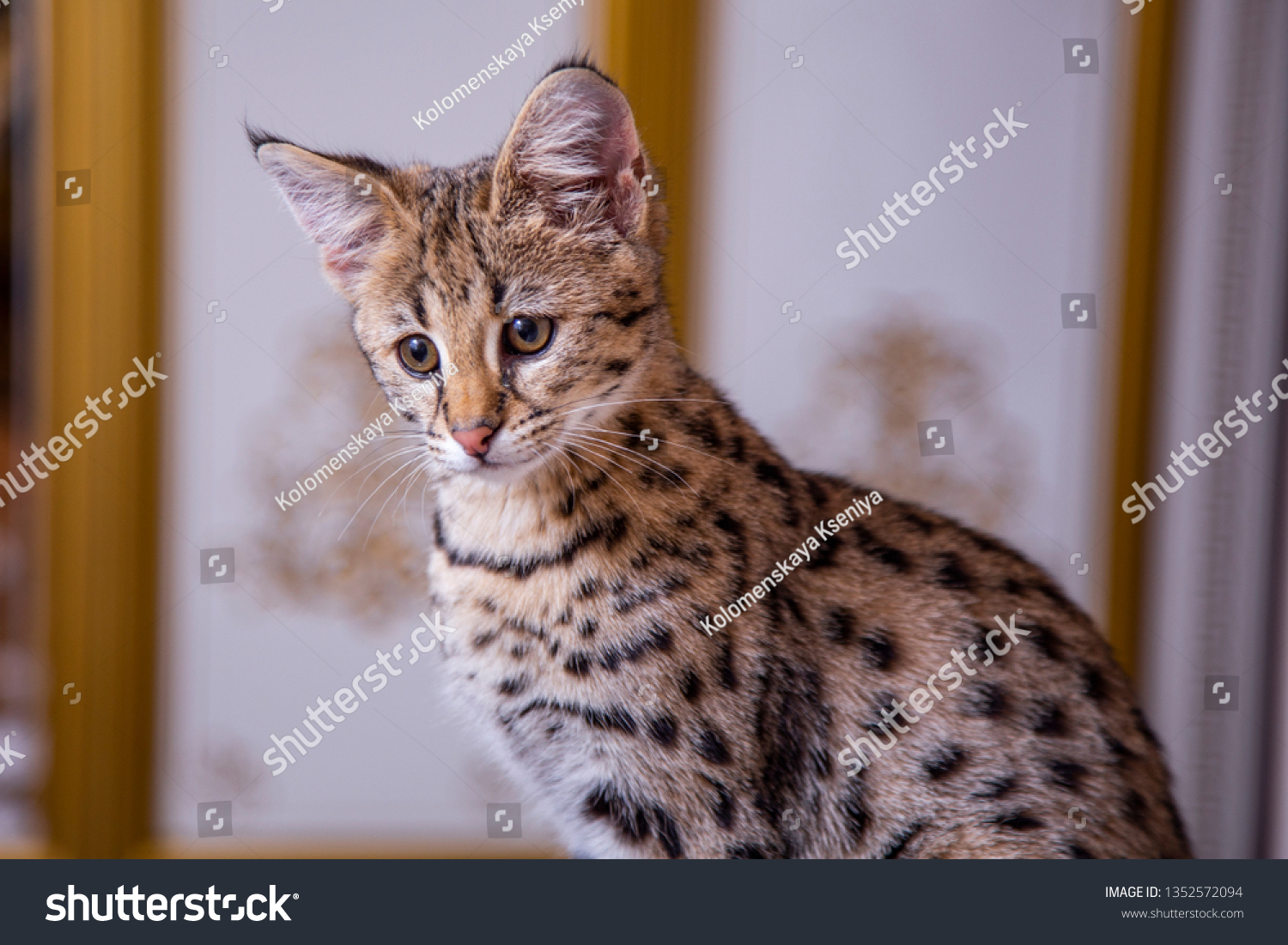 Cat Savannah F1 Sitting On Couch Stock Photo Edit Now 1352572094