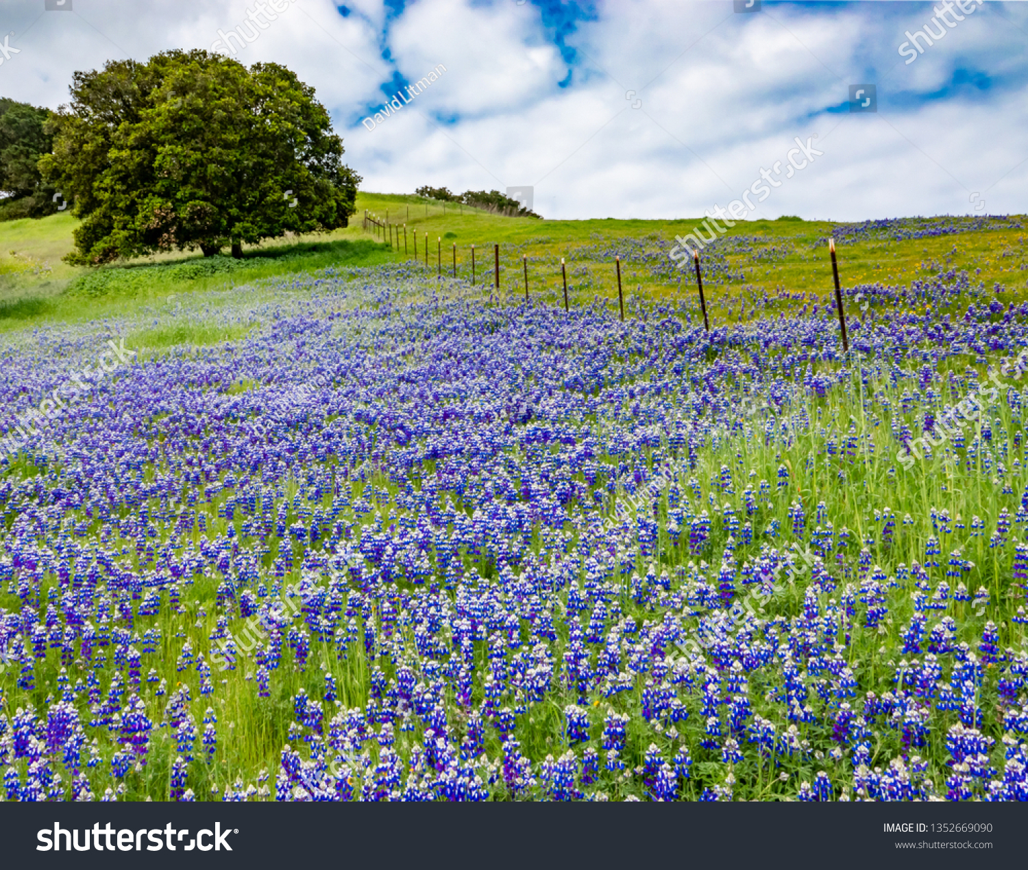 """A super bloom (""""superbloom"""") of colorful blue and purple Sky Lupine wildflowers (Lupinus nanus) covers the ground in the hills of Monterey, California, with a with Coastal Live Oak tree in background."""