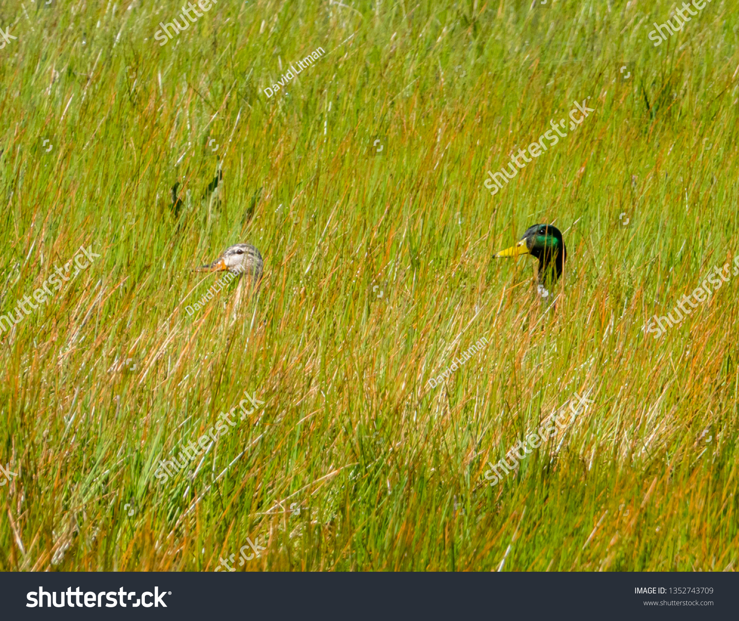 Two ducks cross through deep grass of a marshy grassland next to a vernal pond at Fort Ord National Monument, in Monterey, California.