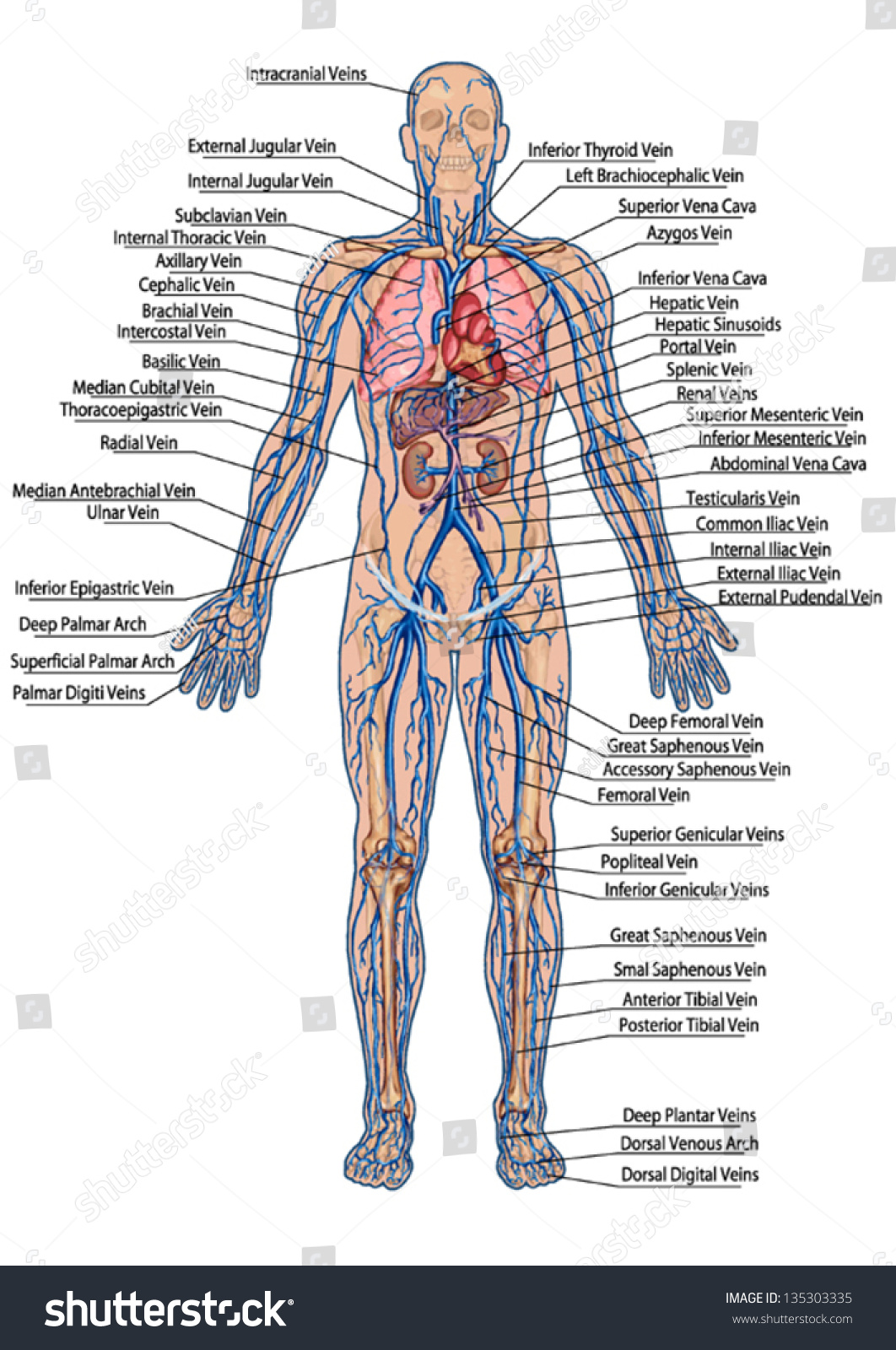 Human Bloodstream Didactic Board Anatomy Blood Stock Vector Royalty