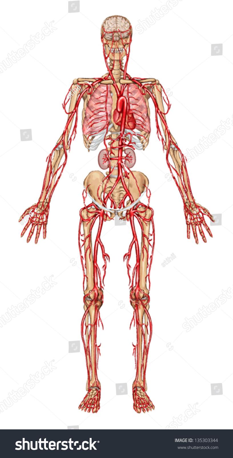 Human Bloodstream Didactic Board Anatomy Blood Stock Vector (Royalty ...