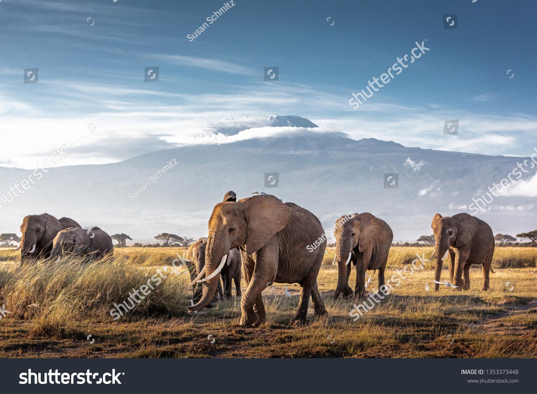 Herd of large African elephants walking in front of Mount Kilimanjaro in Amboseli, Kenya Africa #1353373448
