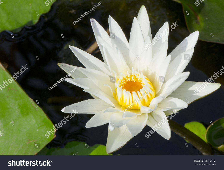 Beautiful white lotus flower stok fotoraf telifsiz 135352406 beautiful white lotus flower mightylinksfo