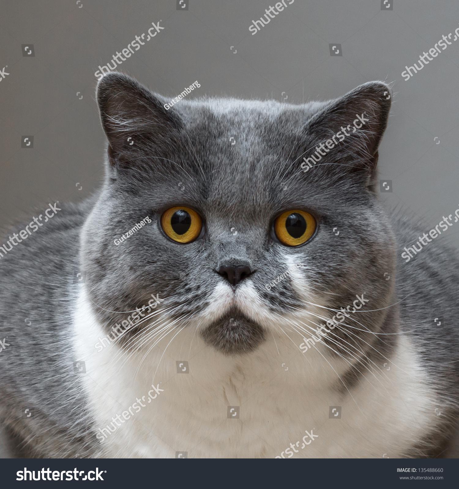 British Shorthair Cat Looked Surprised Stock