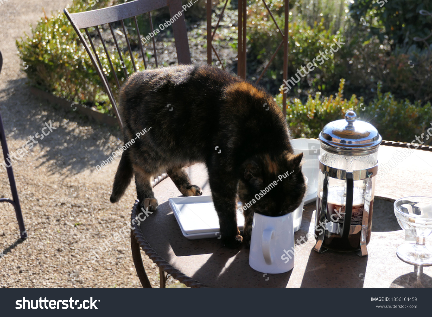 Tortoiseshell cat standing on chair drinking cream from jug on outdoor table in garden