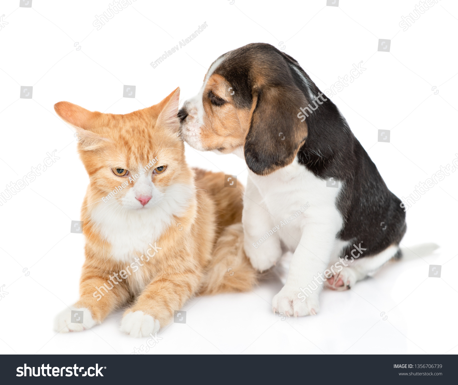 Beagle Puppy Sniffing Red Tabby Cat Stock Photo Edit Now 1356706739