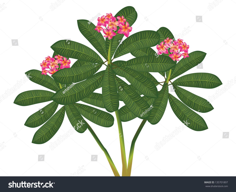 Branch Tropical Pink Flowers Frangipani Plumeria Stock Vector