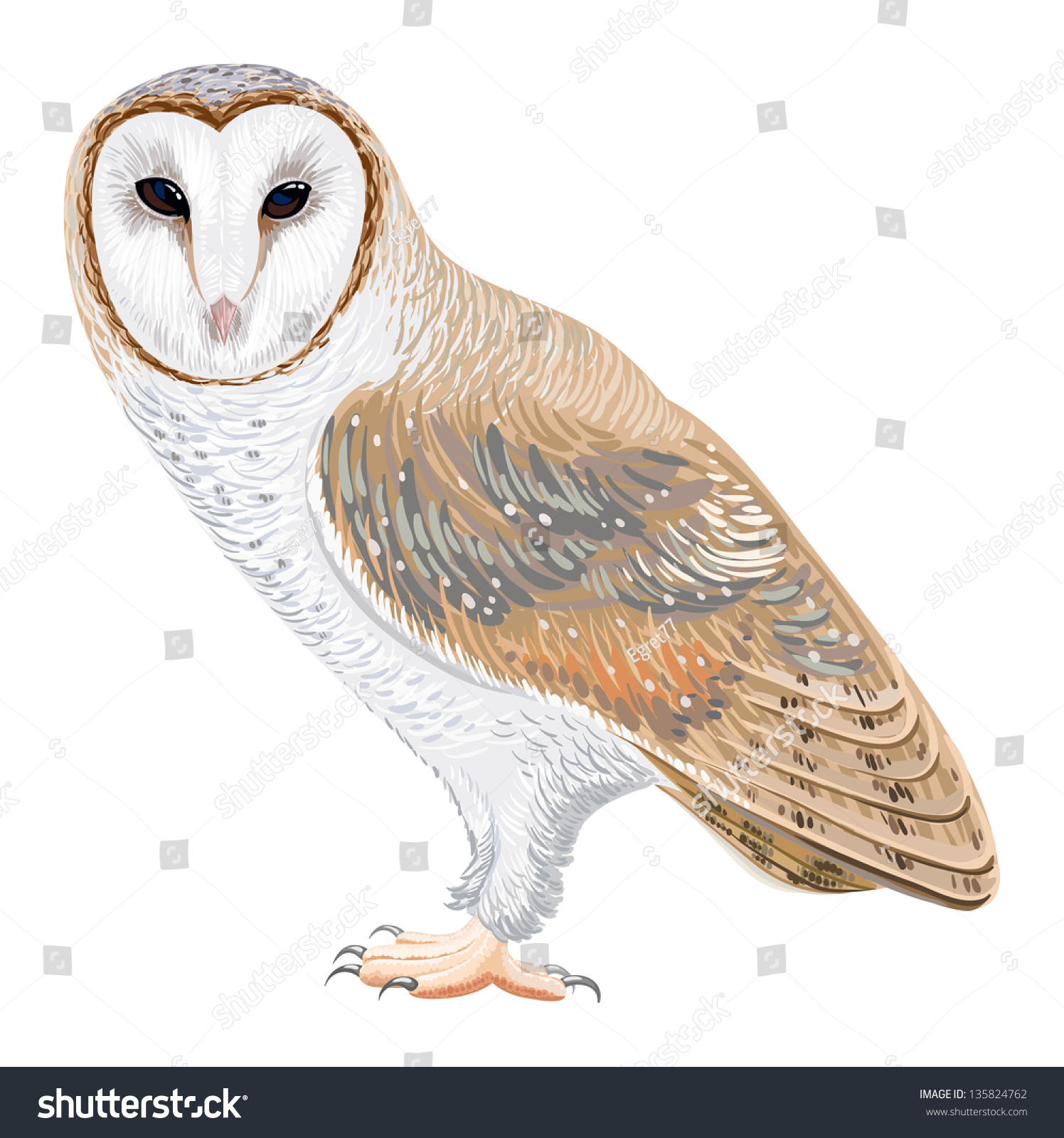 Barn Owl Stock Vector Illustration 135824762 : Shutterstock