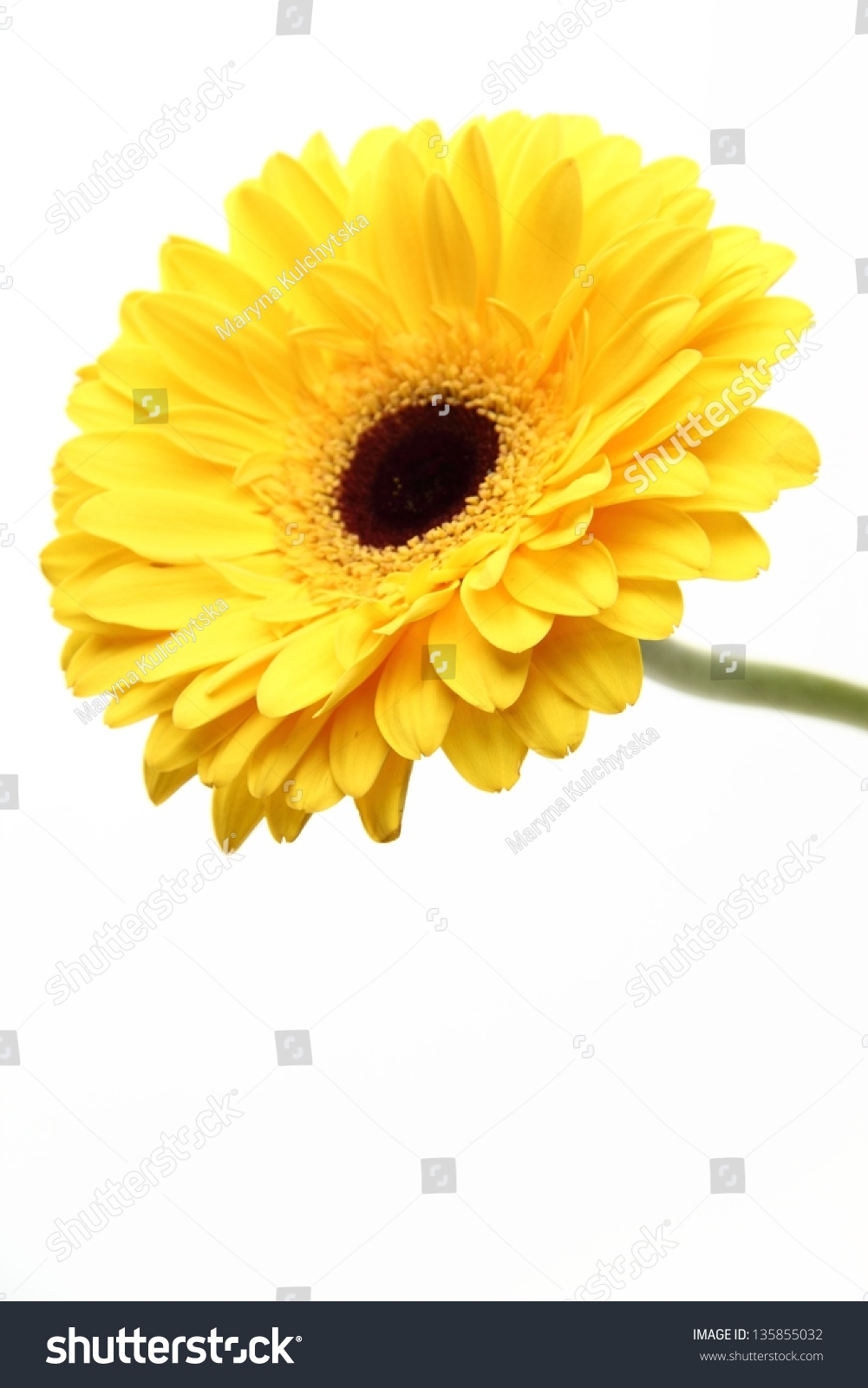 Lovely Single Flower Over White Background Stock Photo Royalty Free