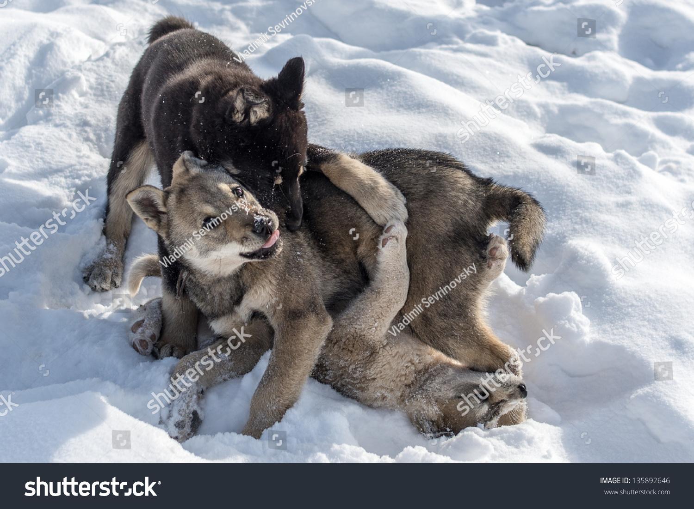 Playing puppies in oymyakon stock photo 135892646 shutterstock