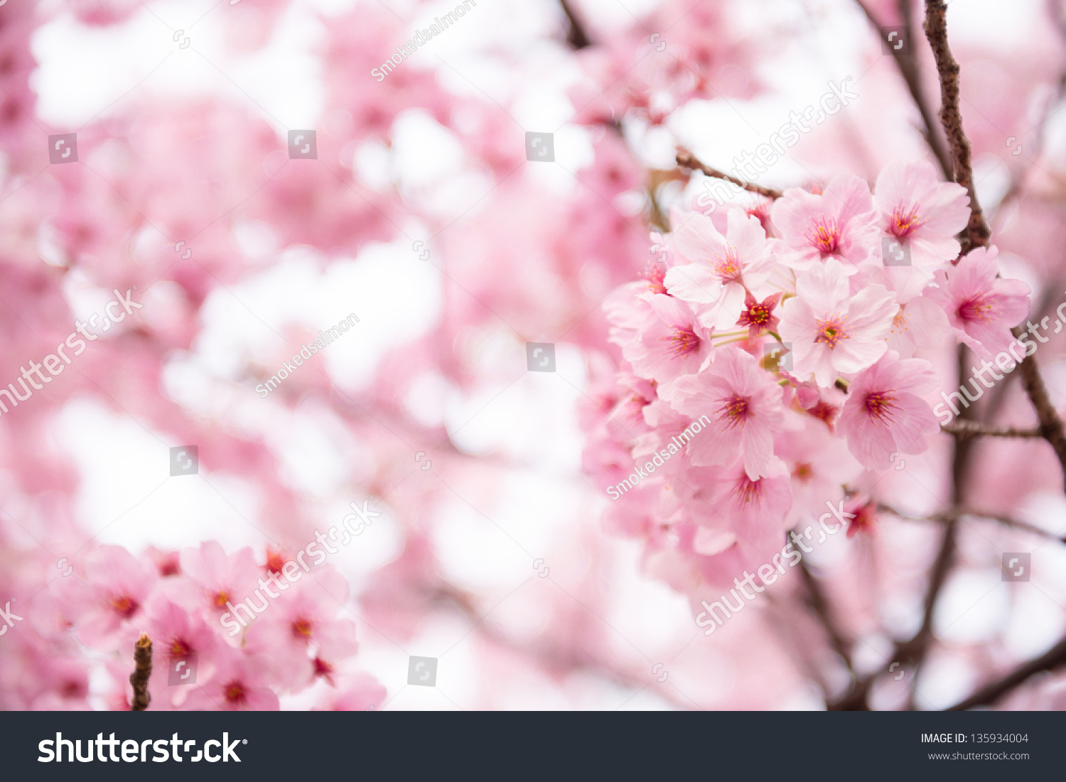 Beautiful pink cherry blossom sakura flower at full bloom in save to a lightbox dhlflorist Images