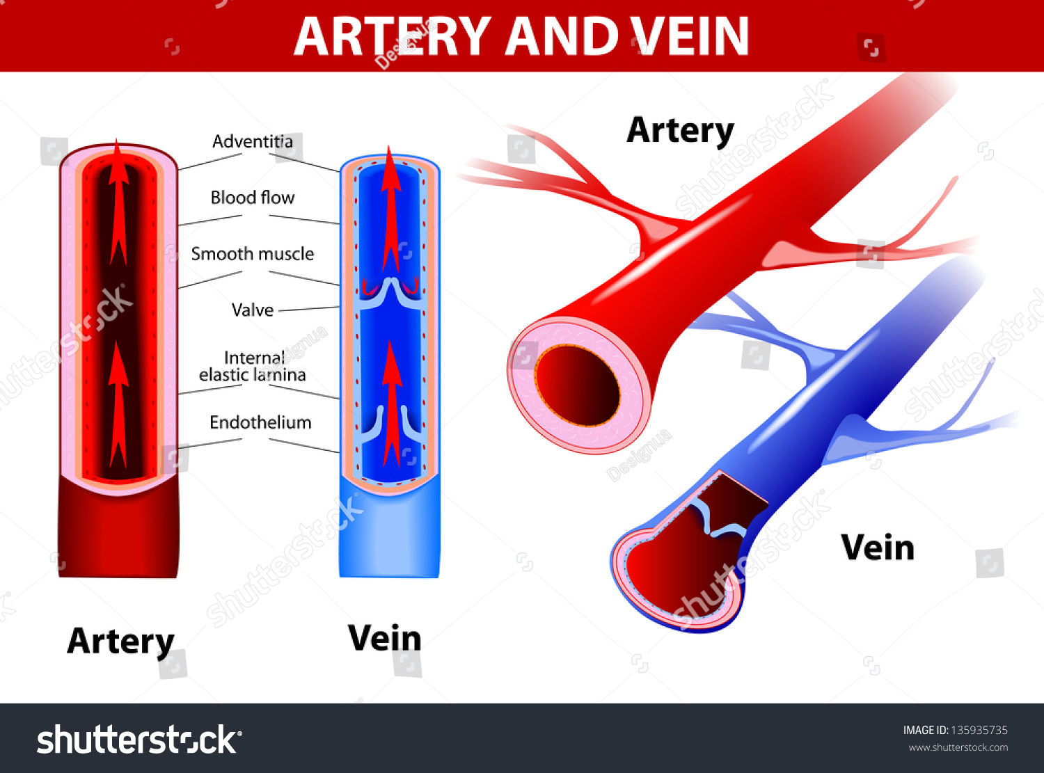 Are Veins Blue Or Red In Diagrams