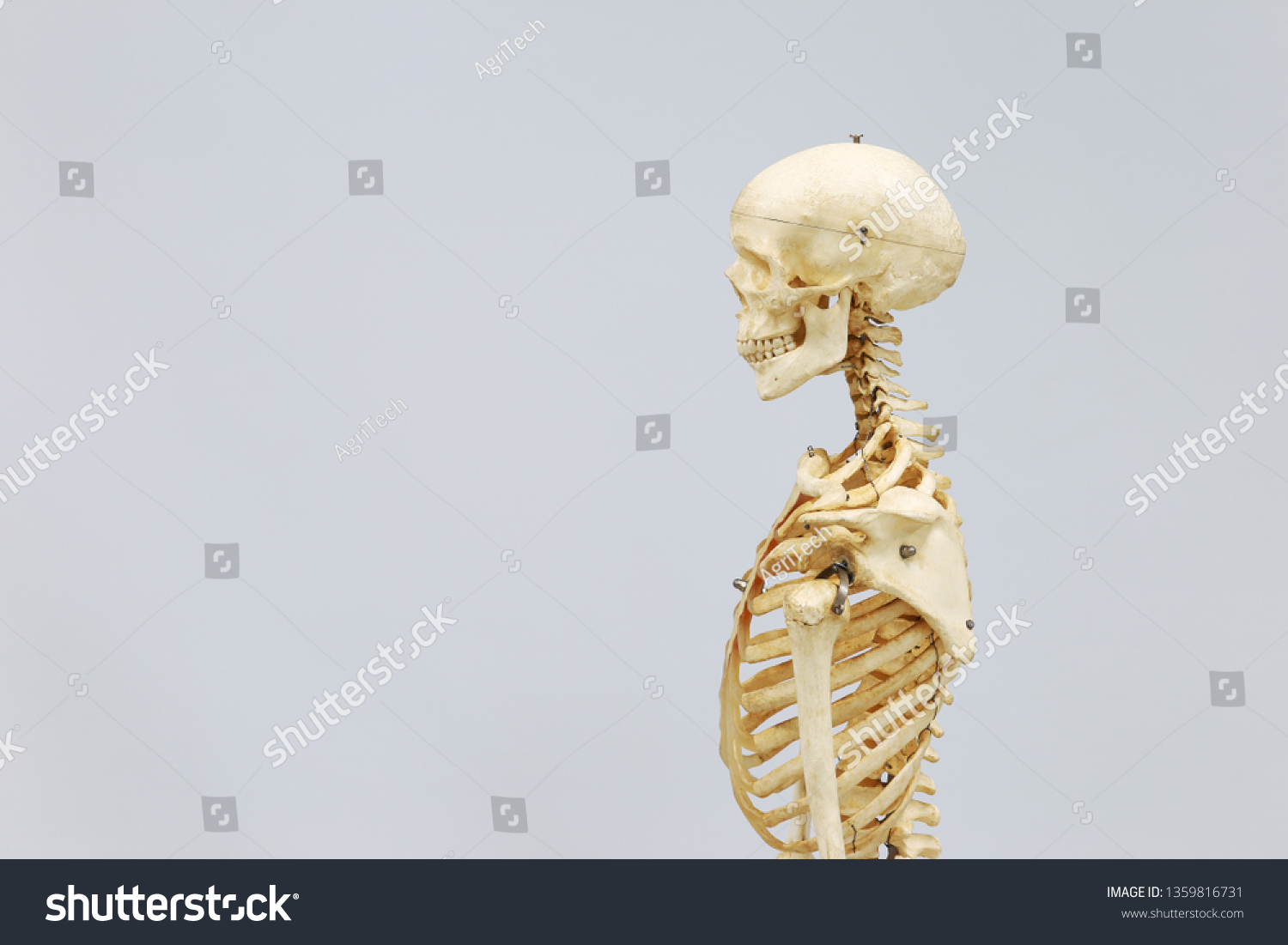 side view of the bones of the head neck and upper thorax  human skeleton  model