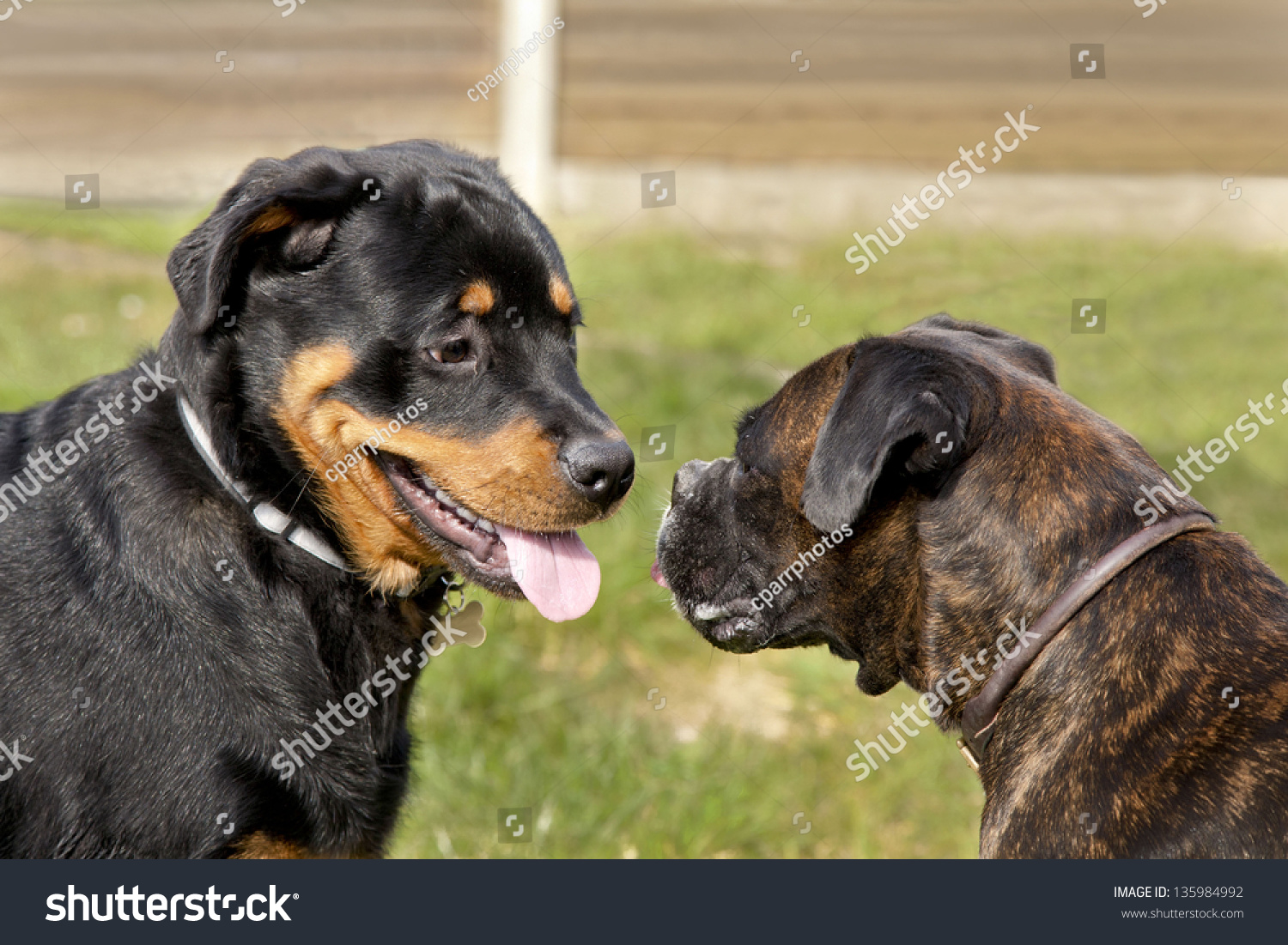 Rottweiler Puppy Boxer Standing Facing Each Stock Photo Edit Now