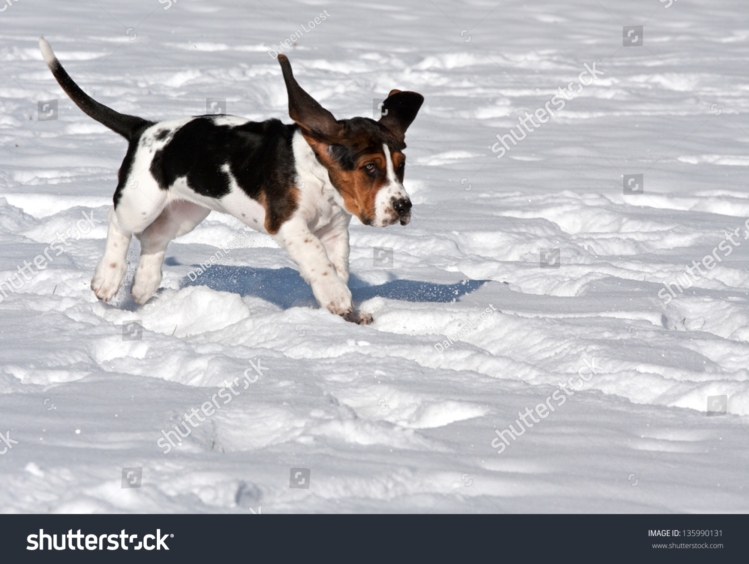 basset hound puppy running in the snow with ears flapping